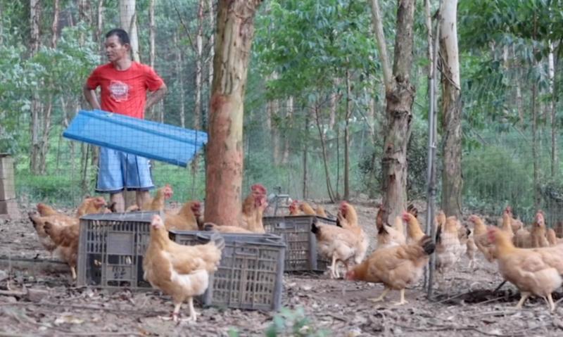 陈翠练丈夫在养鸡。